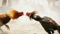 Situs Agen Sabung Ayam