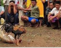 Judi Taruhan Sabung Ayam